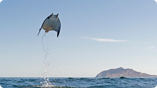 Летающие скаты Калифорнийского залива