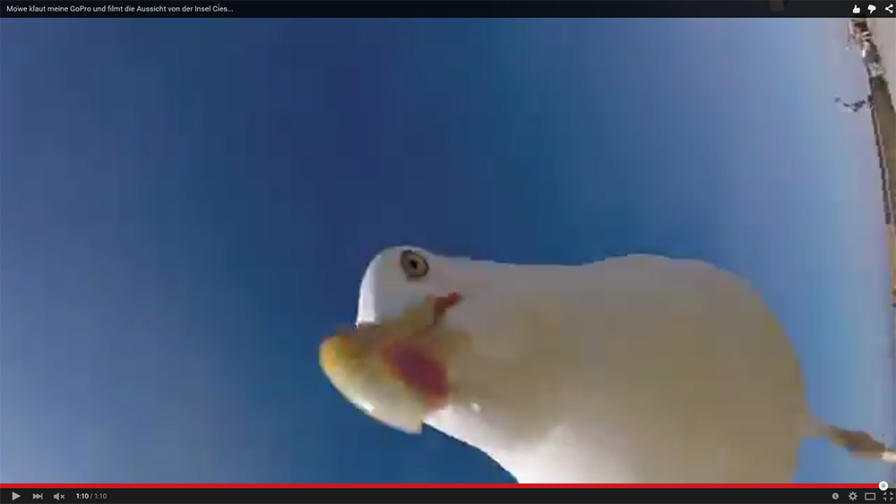 Видео: Чайка отняла у человека камеру и сделала селфи