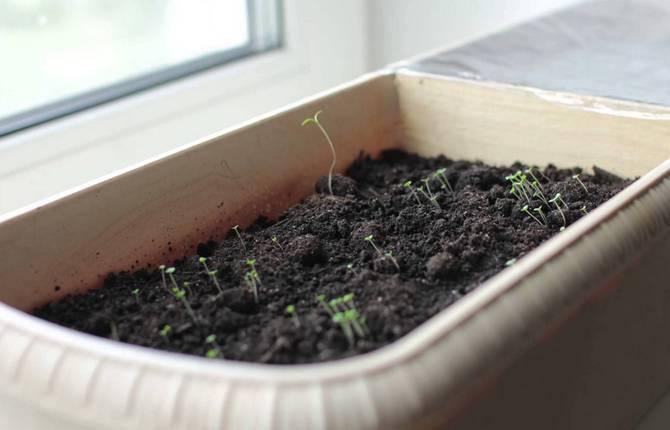 Чабер выращивание в домашних условиях