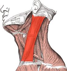 грудино-ключично-сосцевидная мышца