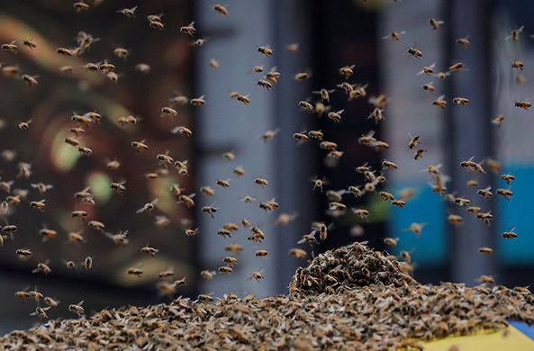На Манхэттене тысячи пчел напали на палатку с хот-догами