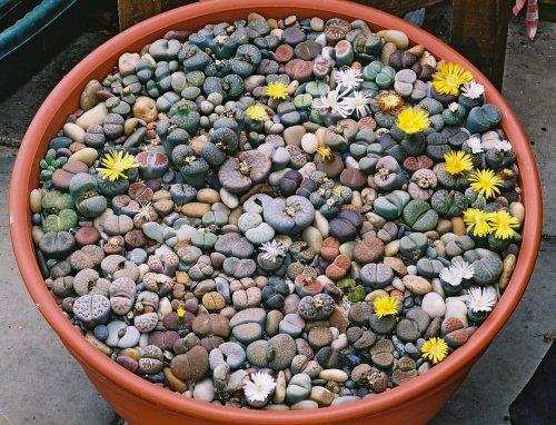 """Литопсы - """"Живые камни"""""""