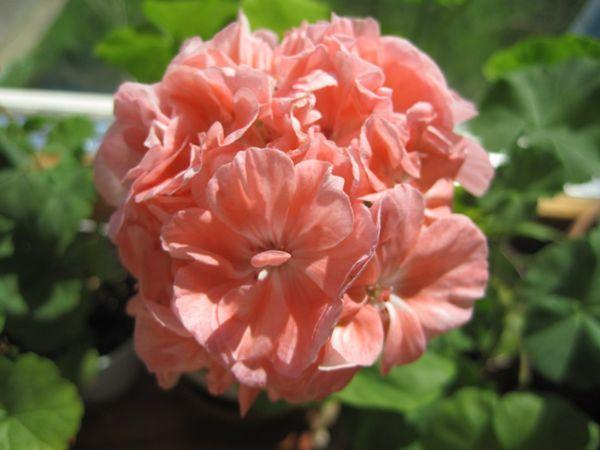 Marbacka Rose