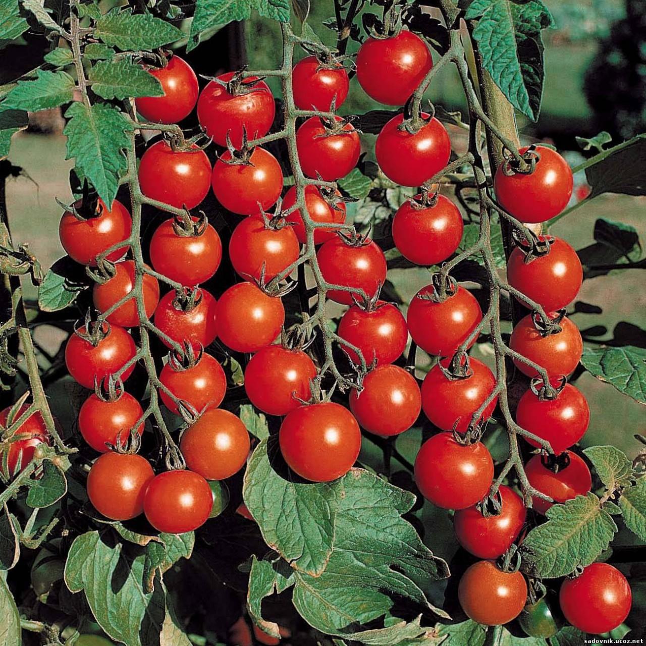 Выращиваем помидоры черри