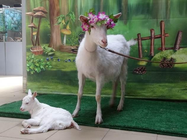 Коза из самарского зоопарка …