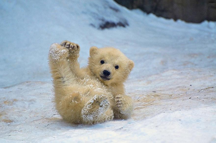 видео про белых медведей