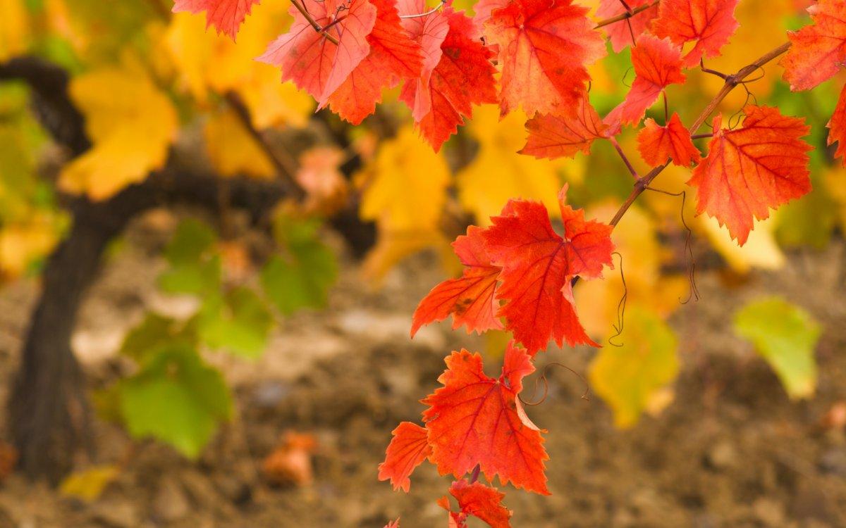Осенний уход за виноградом – готовимся к зимовке