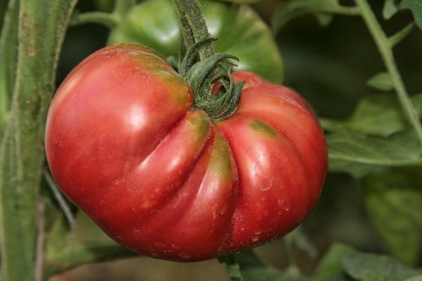 Как выращивать вкусные и целебные томаты, создавая живую почву в теплице