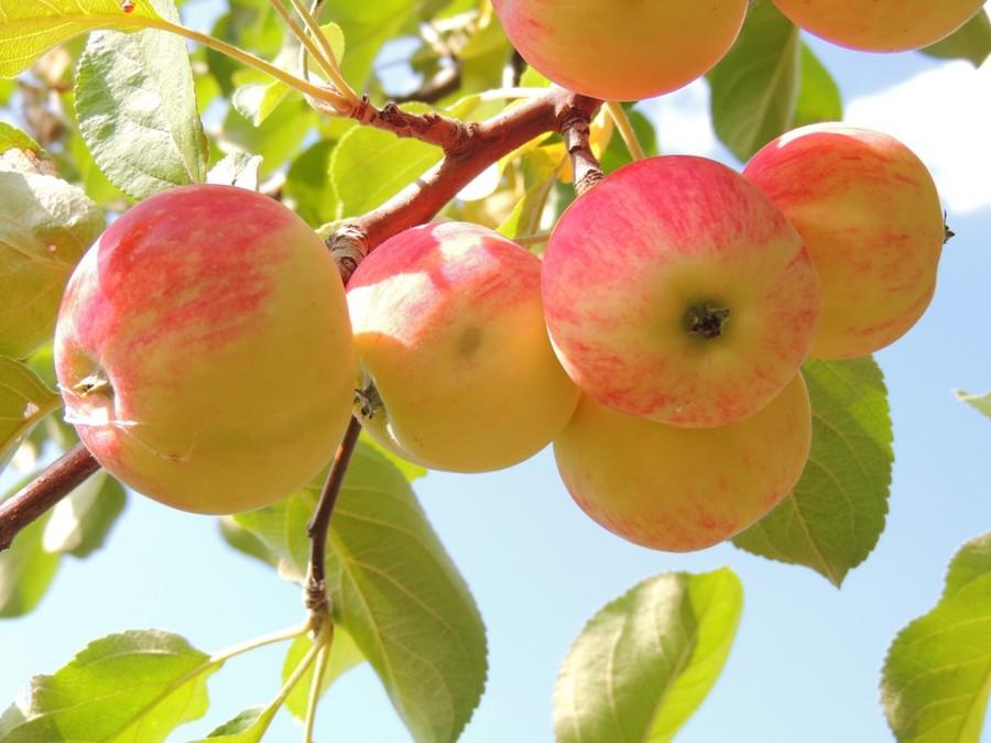 Яблочная диета: сбросьте 5 кг за неделю!