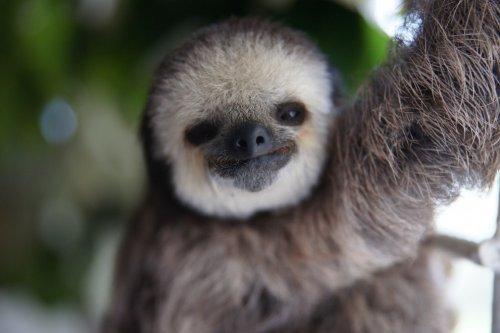 Женщина, которая спасает ленивцев в Суринаме