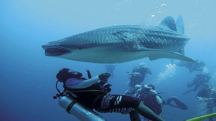 Аквалангист помог гигантской китовой акуле освободиться от рыболовной веревки