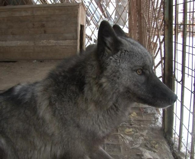 Волк - друг человека