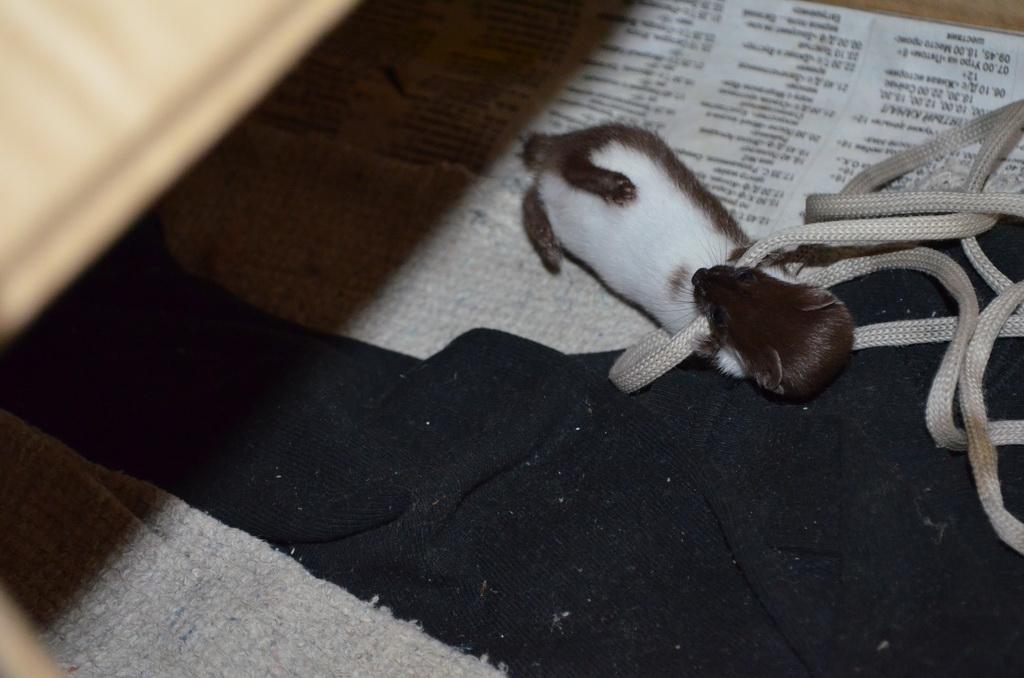 Домашняя ласка по имени Яшка добро, животные, ласка