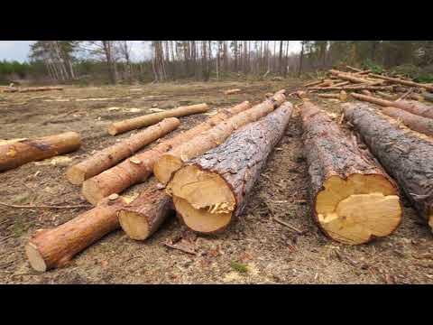 «Мошенники нашли лазейку, чтобы безнаказанно вывозить древесину»