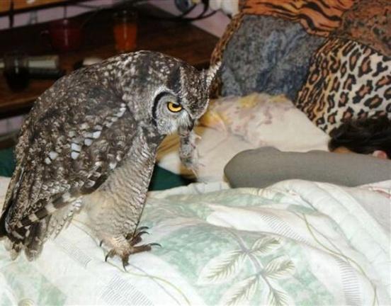 Парень выходил раненую сову, а она вот так отблагодарила за спасение — теперь охотится для всей семьи