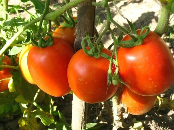 Как нельзя выращивать томаты