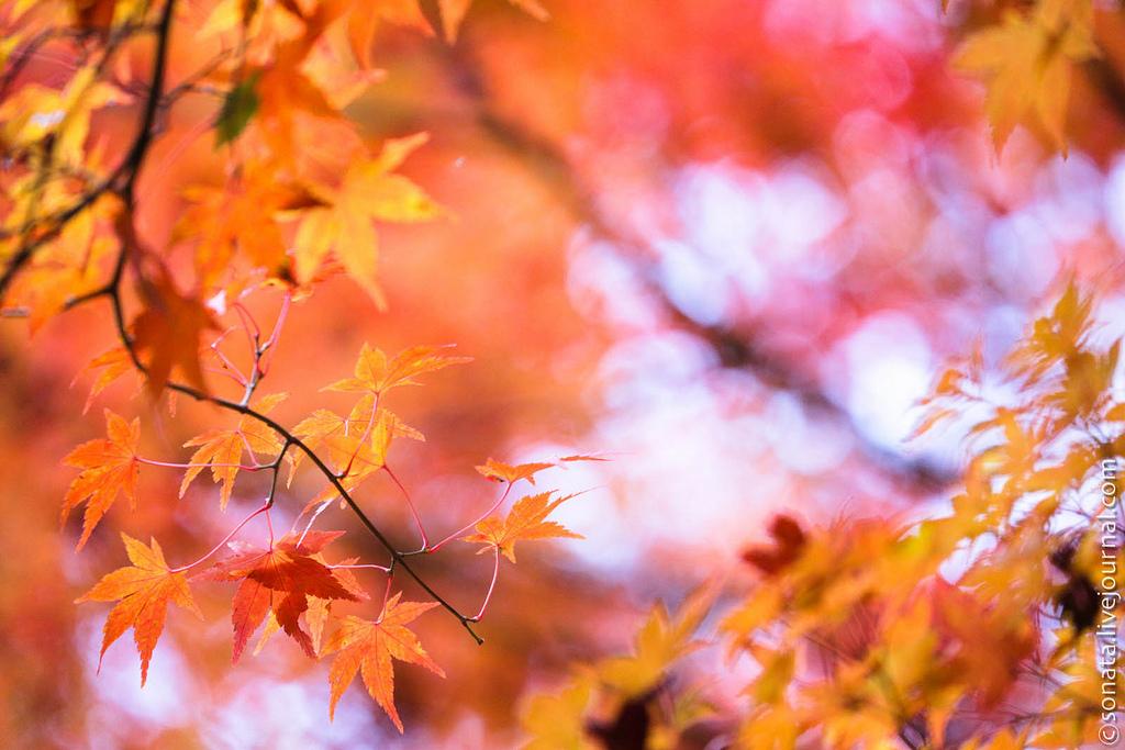 1016 Клёны в ботаническом саду Кобе
