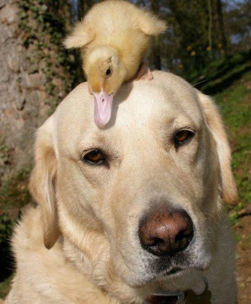 Неожиданная дружба собак с другими животными (10 фото)