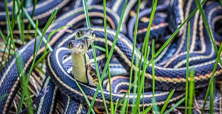 Подвязочные змеи гермафродит, животные, пол