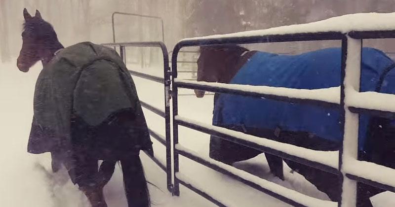 Хозяин выпустил своих лошадей погулять на снегу. Их реакция очень повеселила Сеть!