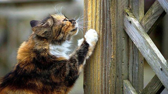 Древесина, подходящая для точки когтей котом