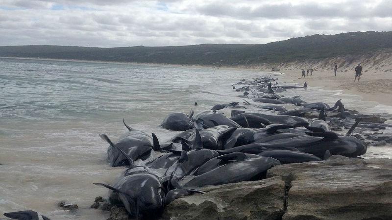 На берег Австралии выбросились 150 дельфинов. Власти опасаются скопления акул