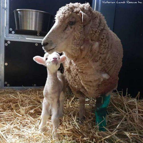 Сила материнской любви — овечка-мать отбила у бродячих собак свою малышку