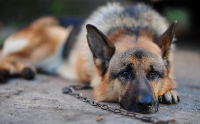 Почему нельзя держать на привязи своего пса (если вы его любите)?