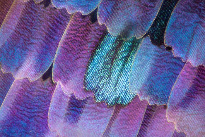 4. Крылья бабочки Линден Гледхилл, микроскоп, фото