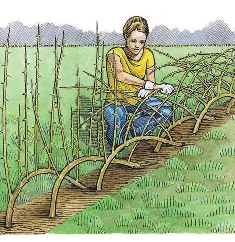 Строим живую изгородь