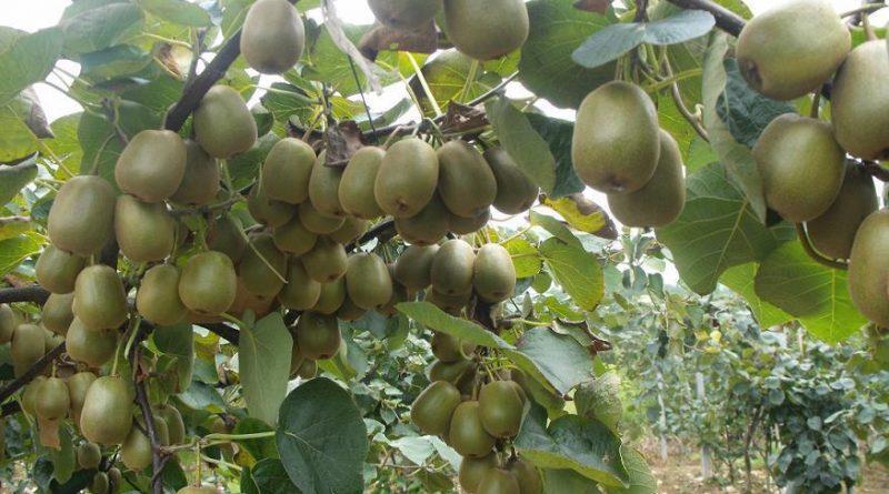 Актинидия — киви для северных дач! Опыт выращивания