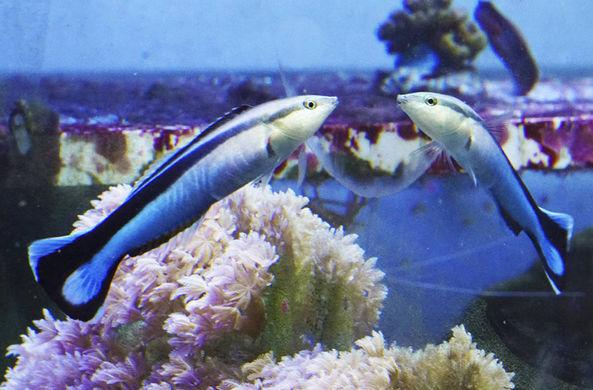 Найдена первая рыба, прошедшая зеркальный тест