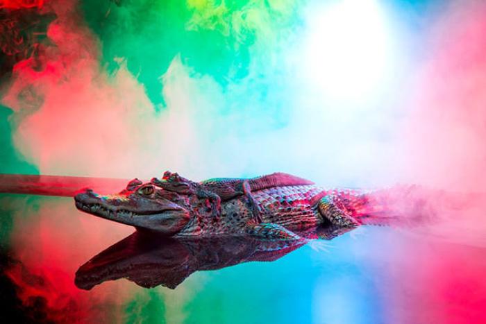 Изысканные портреты аллигаторов.  Автор фото: Andrew McGibbon.