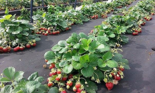 Увеличиваем урожайность клубники на 50%!
