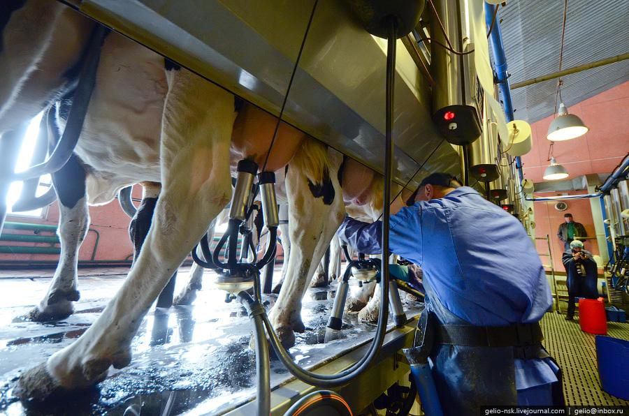 877 Производство молока: Племзавод Ирмень в Новосибирской области
