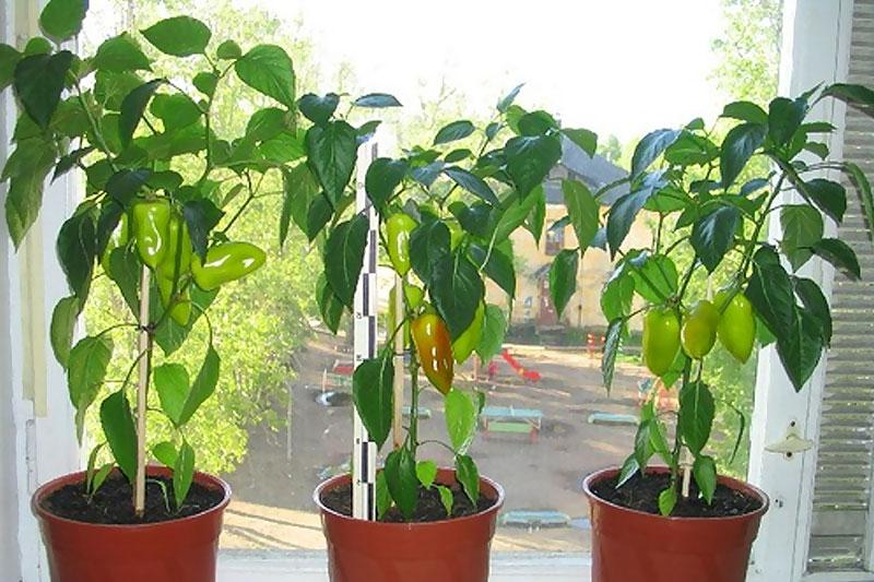 Перец сладкий выращивание в квартире 81