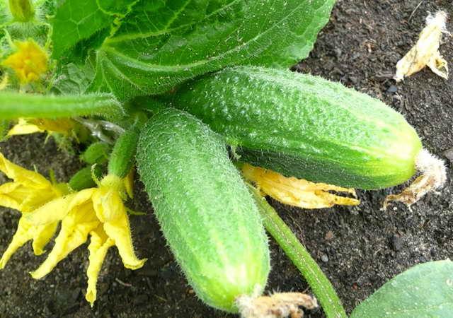 Как вырастить шикарные огурцы на компостной яме