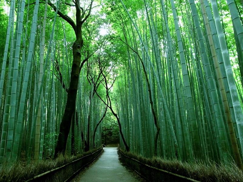 Бамбуковая роща Сагано. Пешеходная дорожка