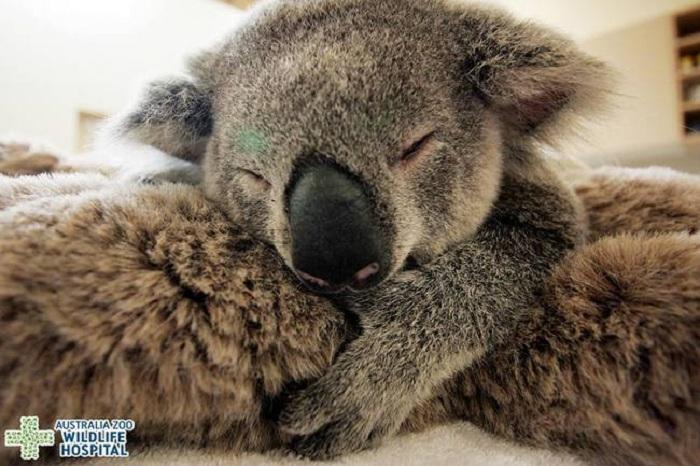 Детеныши коалы до года находятся на спинах у самок.