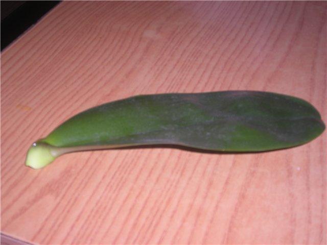Лист Фаленопсиса