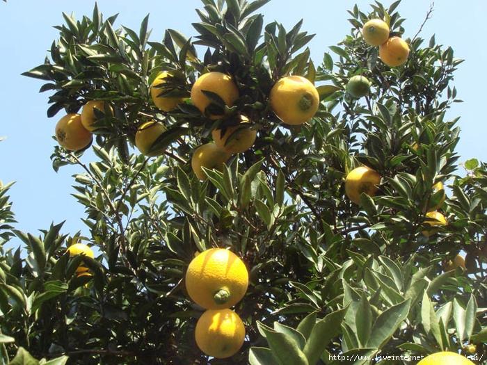 Что характерно для субтропиков выращивание цитрусовых культур 14