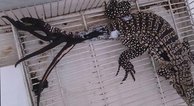 Потеряв хвост из-за травмы, ящерица отрастила себе шесть новых одновременно