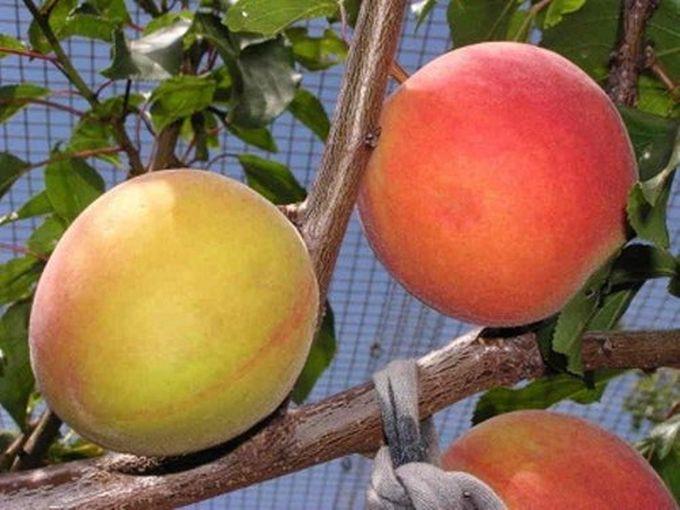 2. Плумкот гибрид, еда, фрукты