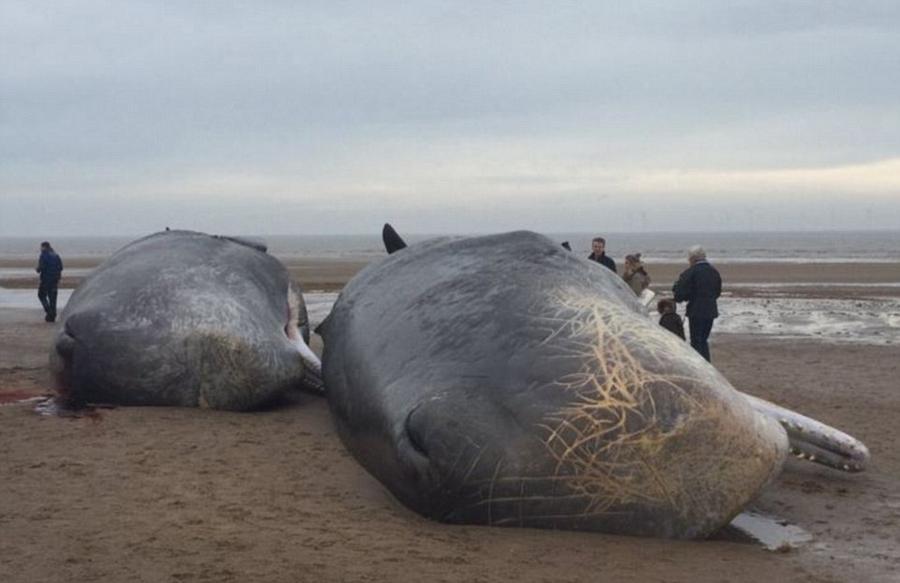 17 мёртвых кашалотов найдены на побережье Северного моря