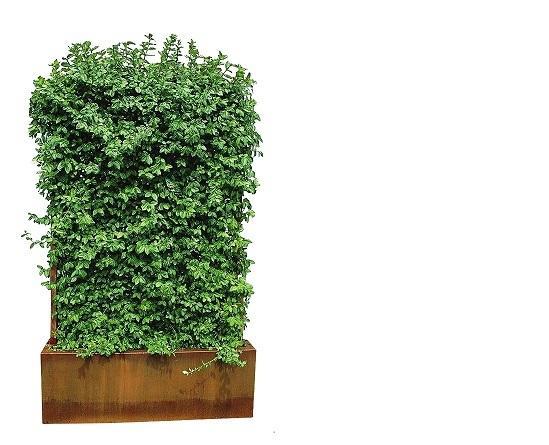 Посадите быстрорастущую лиану в большой ящик со шпалерой