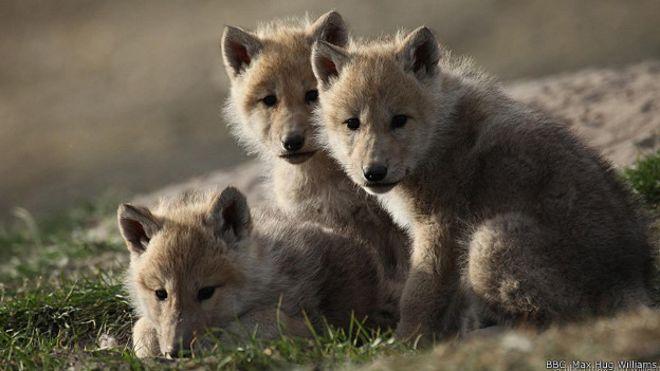 Серьезные игры, смелость и любопытство - как волки воспитывают свое потомство