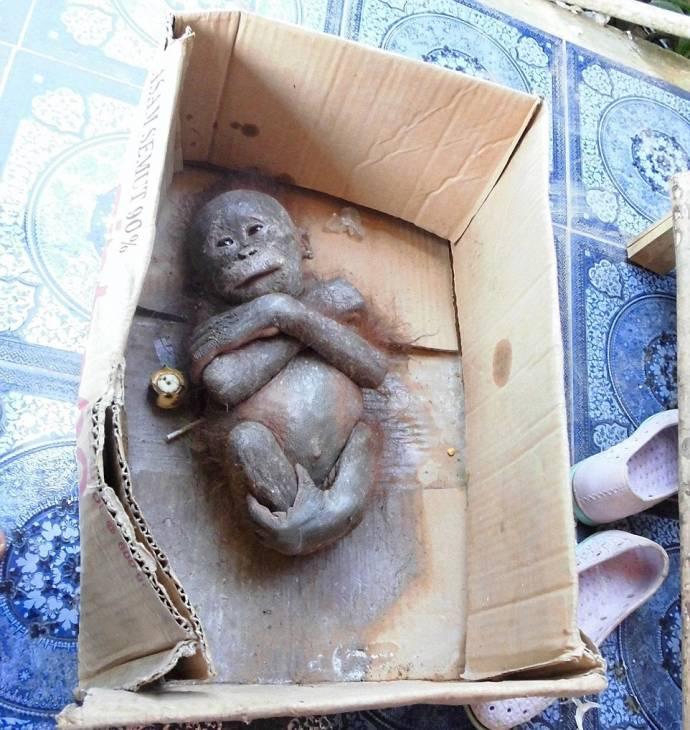 Маленький орангутан идет на поправку после того как был найден умирающим в картонной коробке