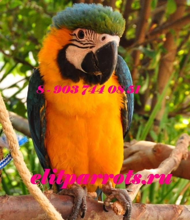 Сине желтый ара (ara ararauna) - ручные птенцы из питомников ФРГ