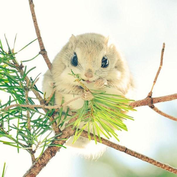 Японские и сибирские белки-летяги белки, животные, сибирь, япония
