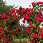 """Роза """"Amadeus"""" на арке"""
